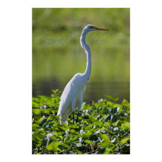 Great Egret, Iquitos, Maynas, Peru Poster