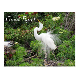 Great Egret - Learning Postcard - Florida