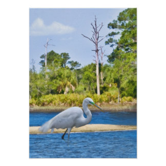 Great Egret Wading Poster