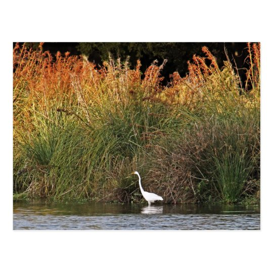 Great Egret with Colourful Grasses Postcard