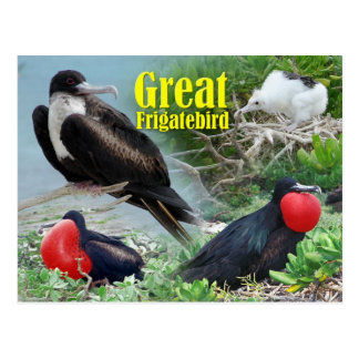 Great Frigatebird, Midway Atoll, Hawaiian Islands Postcard