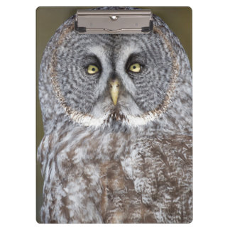 Great gray owl close-up, Canada Clipboard