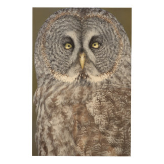 Great gray owl close-up, Canada Wood Prints