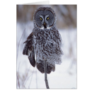 Great Gray Owl near Pine City MN, Card