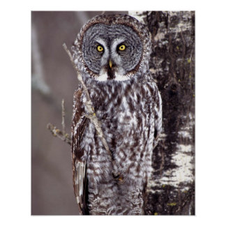 Great Gray Owl on an Aspen tree Poster