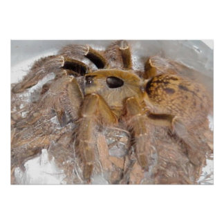 Great Horn Baboon Spider Poster