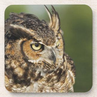 Great Horned Owl, Bubo virginianus, Captive Coaster
