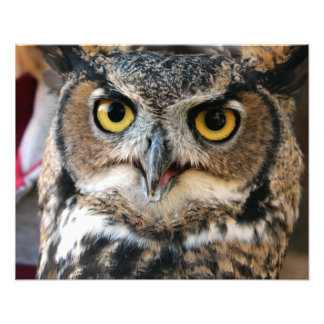 Great Horned Owl (Bubo virginianus) Photo Print
