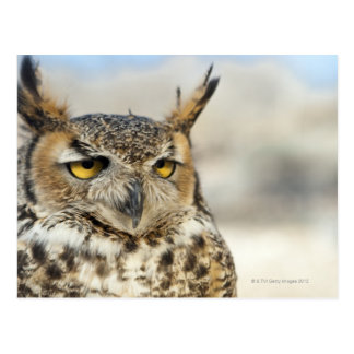 Great Horned Owl (Bubo virginianus) Postcard