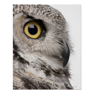 Great Horned Owl - Bubo Virginianus Subarcticus Poster
