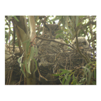 Great Horned Owl nest Postcard