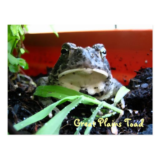Great Plains Toad Postcard