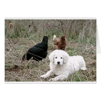 Great Pyrenees puppy with free range chickens Card
