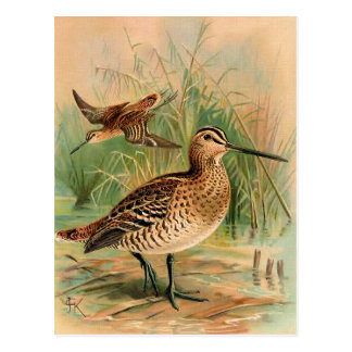 Great Snipe Vintage Bird Illustration Postcard