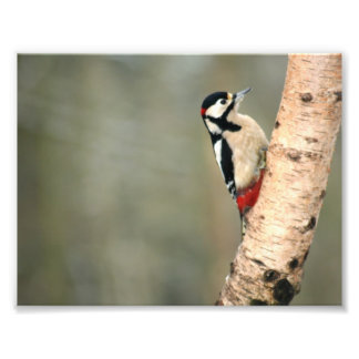 Great Spotted Woodpecker on a Silver Birch Photo