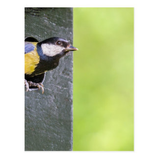 Great tit parent in hole of nest box postcard
