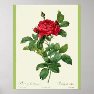 Great Vintage Art: Deep Pink English Rose print