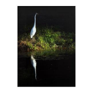 Great White Egret in sunlight Acrylic Print