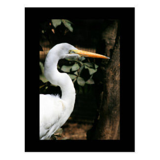 Great White Egret Postcard