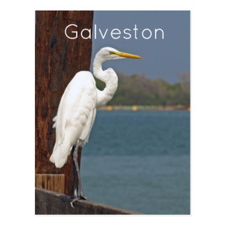 Great White Egret Postcard