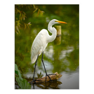 Great White Heron on a Log Photograph Postcard