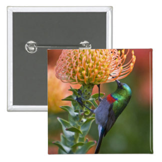 Greater Double-collared Sunbird feeds on 3 15 Cm Square Badge