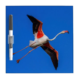 Greater flamingo, phoenicopterus roseus dry erase board