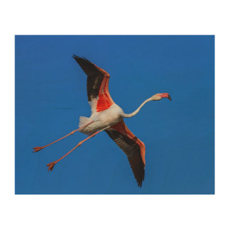 Greater flamingo, phoenicopterus roseus wood print