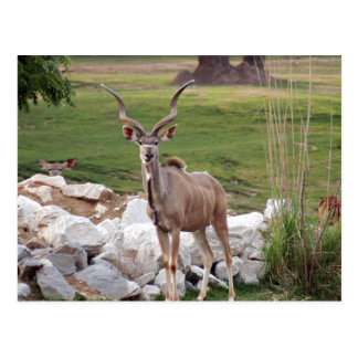 greater-kudu-6 postcard