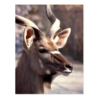 greater kudu postcard