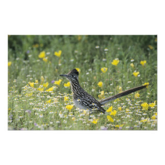 Greater Roadrunner, Geococcyx californianus, Photographic Print