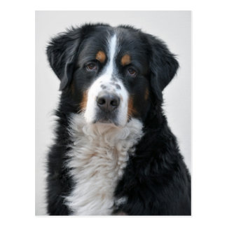 Greater Swiss Mountain Dog photo Postcard