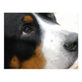 Greater Swiss Mountain Dog Postcard