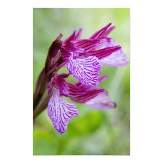 Greece, Crete. Butterfly orchid in bloom Photo Print