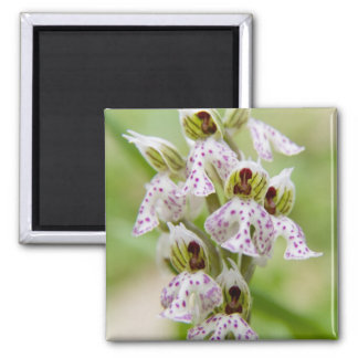 Greece, Crete. Orchid in bloom Orchis Square Magnet
