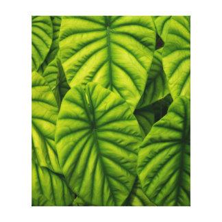 Green Alocasia Cuprea Leaves Hawaii Island Canvas Print