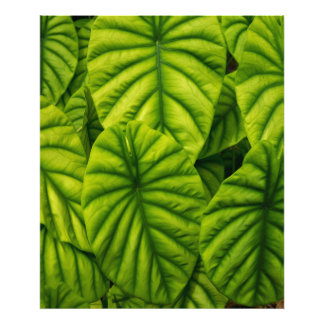 Green Alocasia Cuprea Leaves Hawaii Island Photo Print