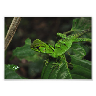 Green Amazonian lizard Photographic Print