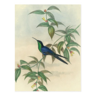 Green and Blue Gould Hummingbird Postcard