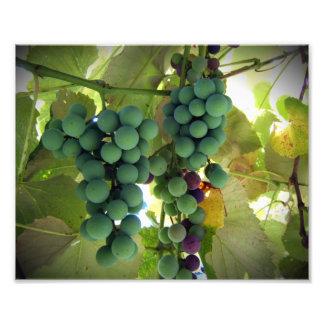 Green and Purple Grapes on the Vine Vineyard Print Photo Print