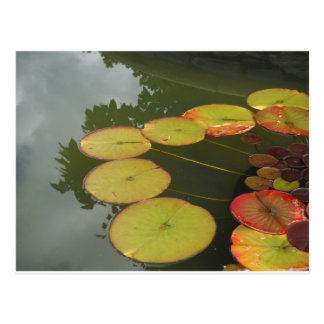 Green and Red Lilly pads Postcard