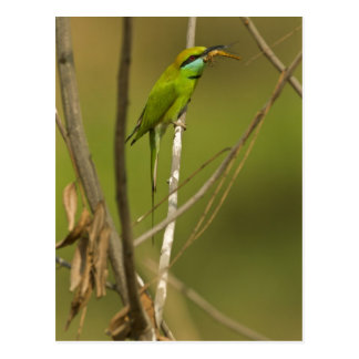 Green Bee-eater eating insect Postcard
