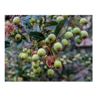 Green Berries Postcard