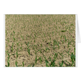 Green corn maize field in early stage card