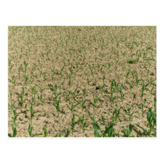 Green corn maize field in early stage postcard