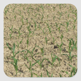 Green corn maize field in early stage square sticker