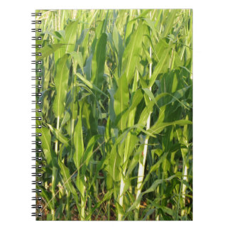 Green corn plants are growing in summer notebooks