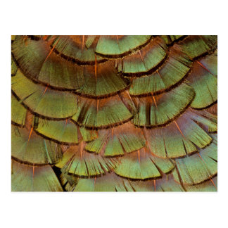 Green fanned Pheasant feather Postcard