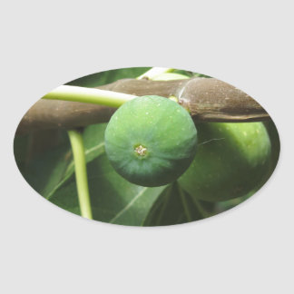 Green figs ripening on a fig tree oval sticker