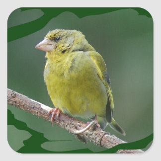 Green Finch - green finch - Verdier photo JL Square Sticker